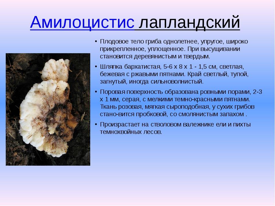 Амилоцистис лапландский Плодовое тело гриба однолетнее, упругое, широко прик...