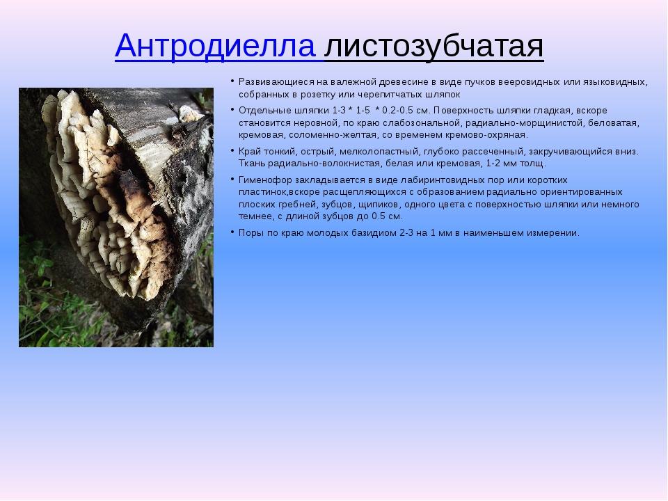 Антродиелла листозубчатая Развивающиеся на валежной древесине в виде пучков...