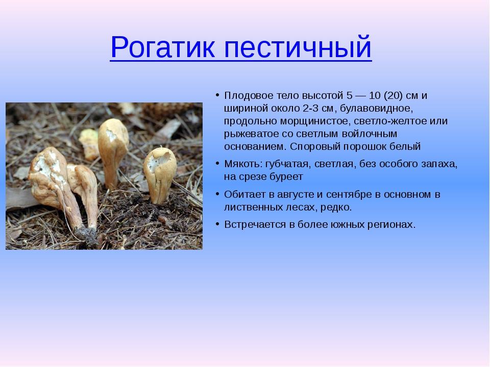 Рогатик пестичный Плодовое тело высотой 5 — 10 (20) см и шириной около 2-3 с...