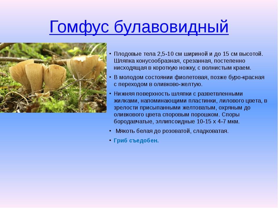 Гомфус булавовидный Плодовые тела 2,5-10 см шириной и до 15 см высотой. Шляпк...