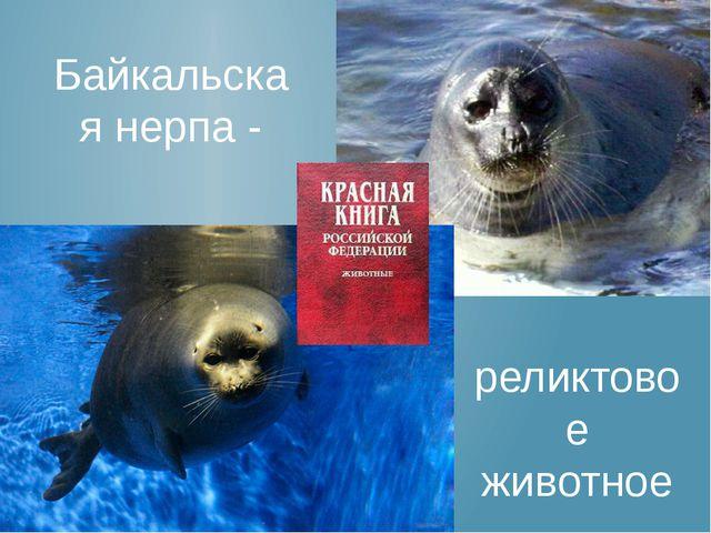 Байкальская нерпа - реликтовое животное