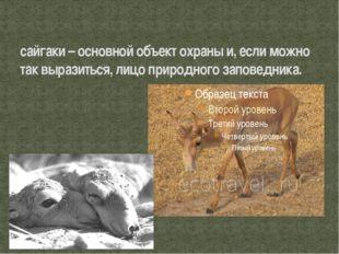 сайгаки – основной объект охраны и, если можно так выразиться, лицо природног