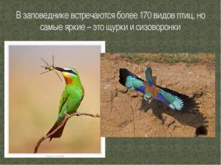 В заповеднике встречаются более 170 видов птиц, но самые яркие – это щурки и