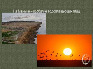 На Маныче – изобилие водоплавающих птиц