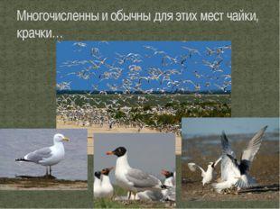 Многочисленны и обычны для этих мест чайки, крачки…