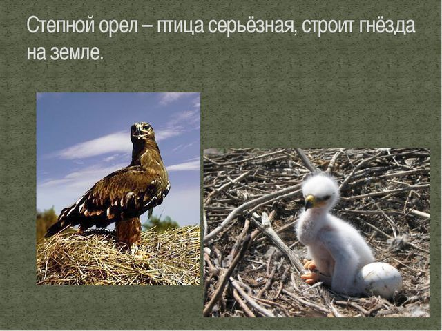 Степной орел – птица серьёзная, строит гнёзда на земле.