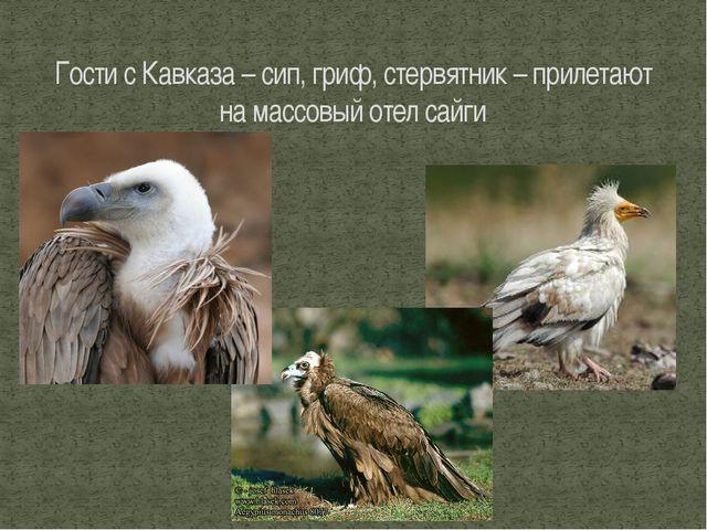 Гости с Кавказа – сип, гриф, стервятник – прилетают на массовый отел сайги