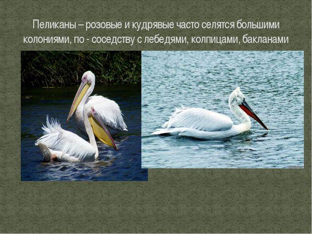 Пеликаны – розовые и кудрявые часто селятся большими колониями, по - соседств...
