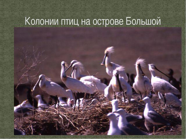 Колонии птиц на острове Большой