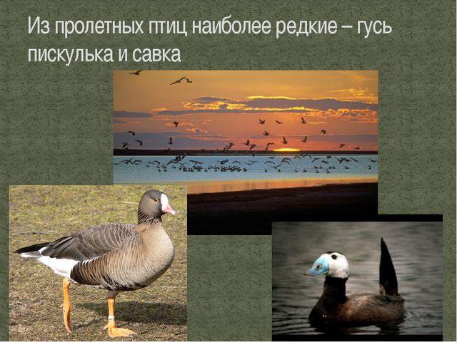 Из пролетных птиц наиболее редкие – гусь пискулька и савка