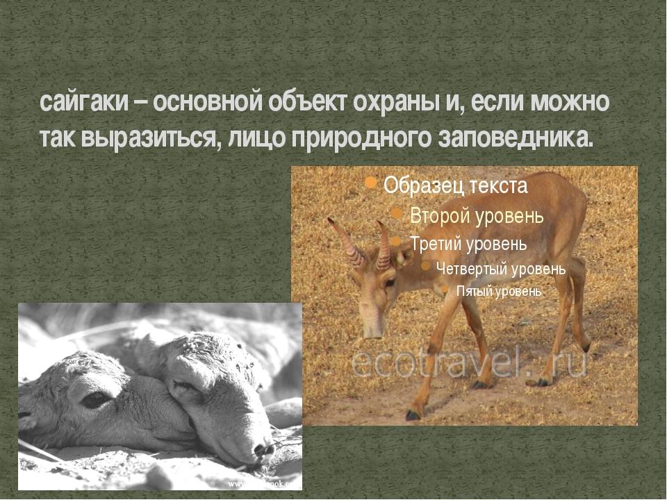 сайгаки – основной объект охраны и, если можно так выразиться, лицо природног...