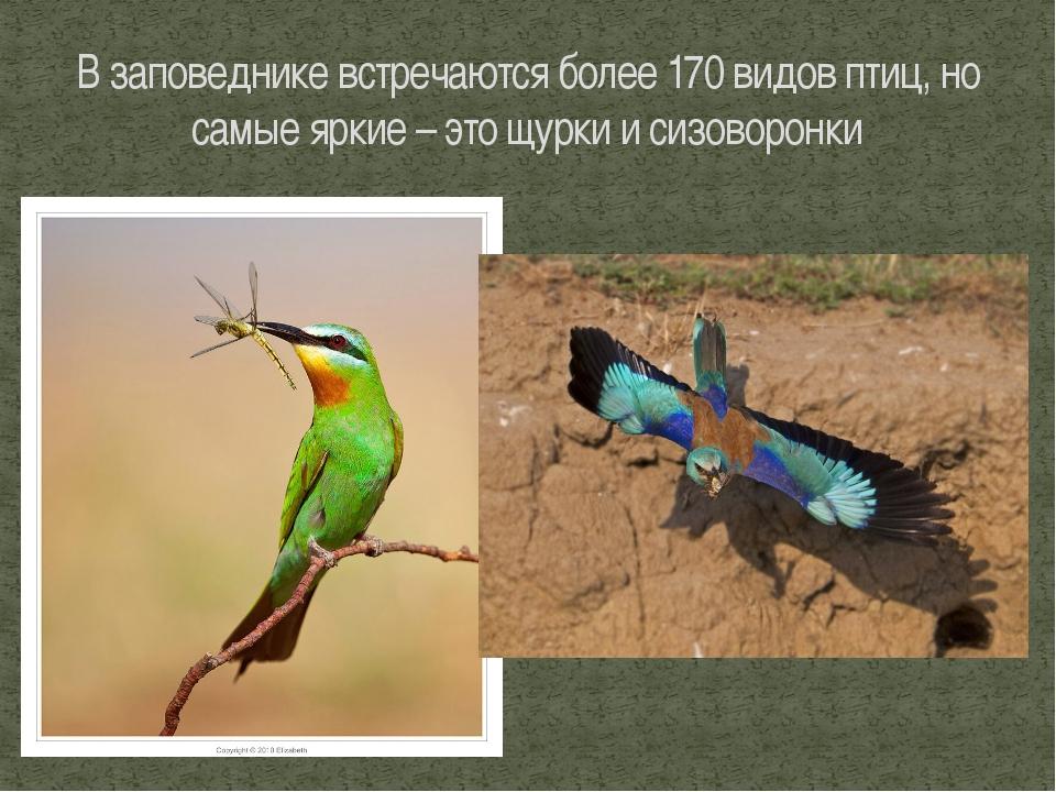 В заповеднике встречаются более 170 видов птиц, но самые яркие – это щурки и...