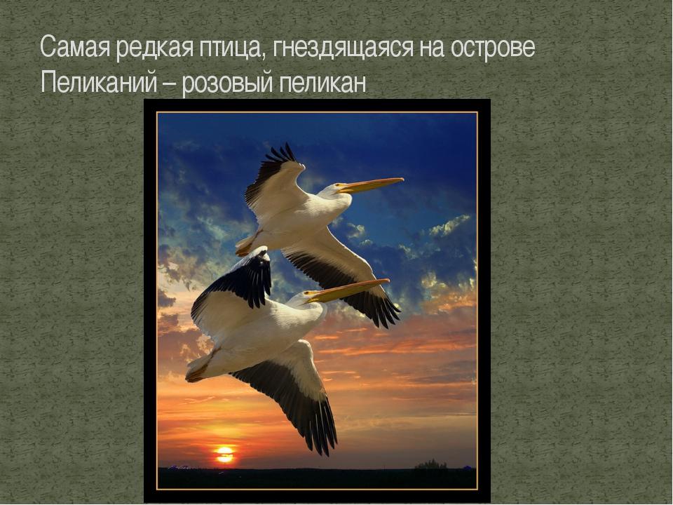 Самая редкая птица, гнездящаяся на острове Пеликаний – розовый пеликан