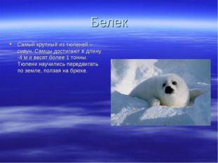 Белек Самый крупный из тюленей – сивуч. Самцы достигают в длину -4 м и весят