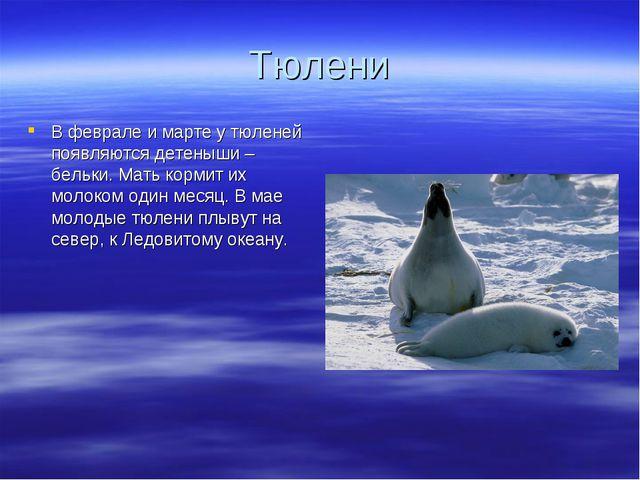 Тюлени В феврале и марте у тюленей появляются детеныши – бельки. Мать кормит...