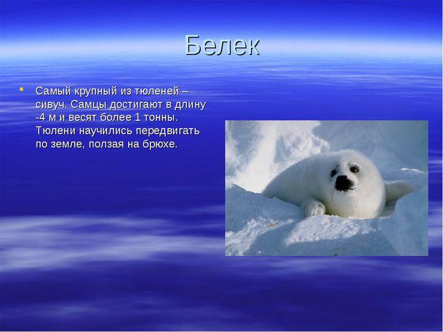 Белек Самый крупный из тюленей – сивуч. Самцы достигают в длину -4 м и весят...