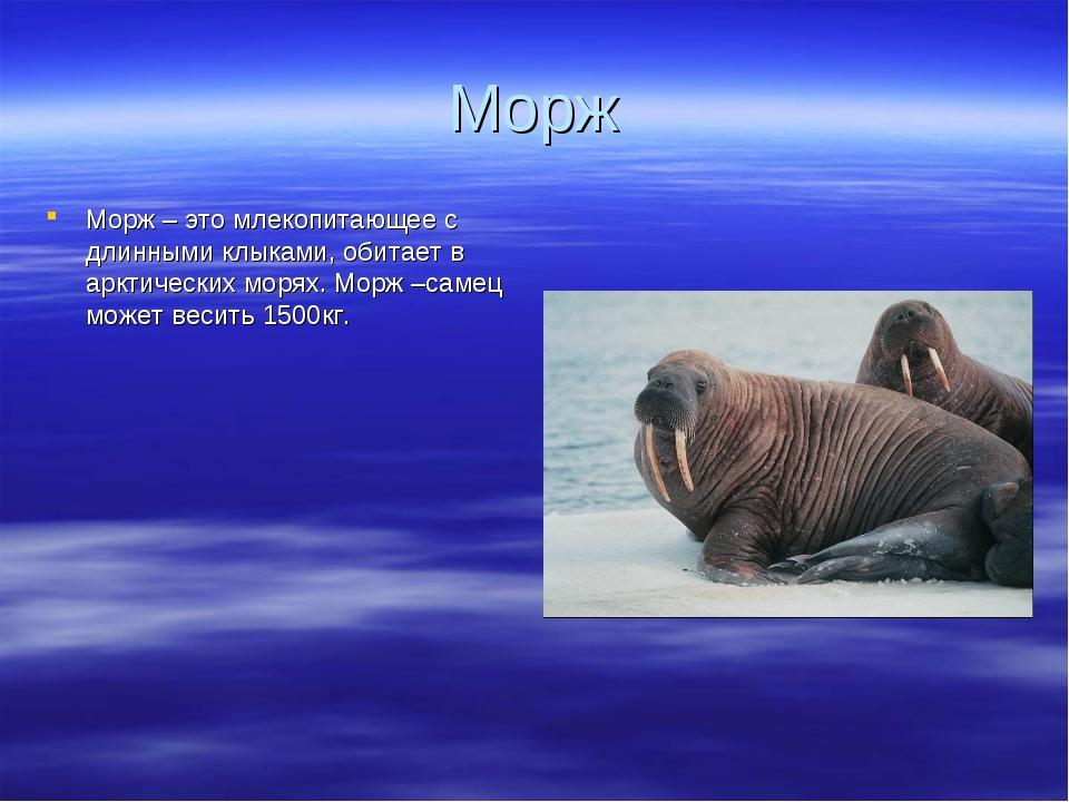 Морж Морж – это млекопитающее с длинными клыками, обитает в арктических морях...