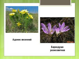Адонис весенний Барандуша разнозветная