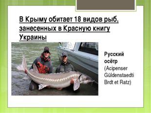 В Крыму обитает 18 видов рыб, занесенных в Красную книгу Украины Рyccкий осёт