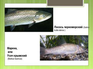 Лосось черноморский (Salmo trutta labrax ) Марена, или Усач крымский (Barbus