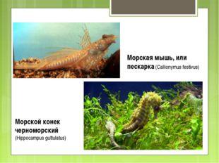 Морская мышь, или пескарка (Callionymus festivus) Морской конек черноморский