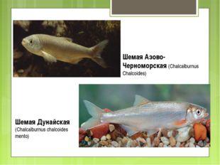 Шемая Азово-Черноморская (Chalcalburnus Chalcoides) Шемая Дунайская (Chalcalb