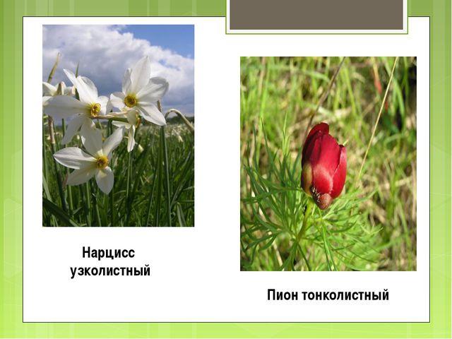 Нарцисс узколистный Пион тонколистный