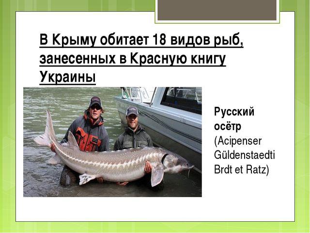 В Крыму обитает 18 видов рыб, занесенных в Красную книгу Украины Рyccкий осёт...