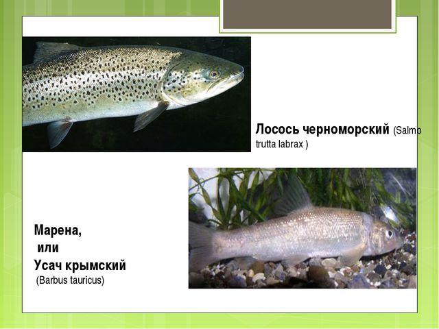 Лосось черноморский (Salmo trutta labrax ) Марена, или Усач крымский (Barbus...