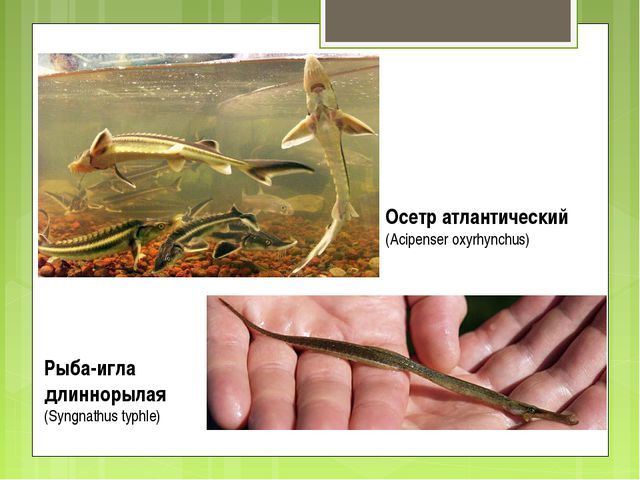 Осетр атлантический (Acipenser oxyrhynchus) Рыба-игла длиннорылая (Syngnathus...