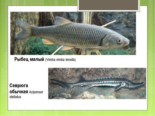 Рыбец малый (Vimba vimba tenella) Севрюга обычная Acipenser stellatus