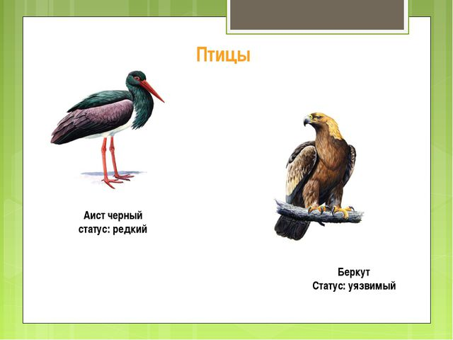 Птицы Аист черный статус: редкий Беркут Статус: уязвимый