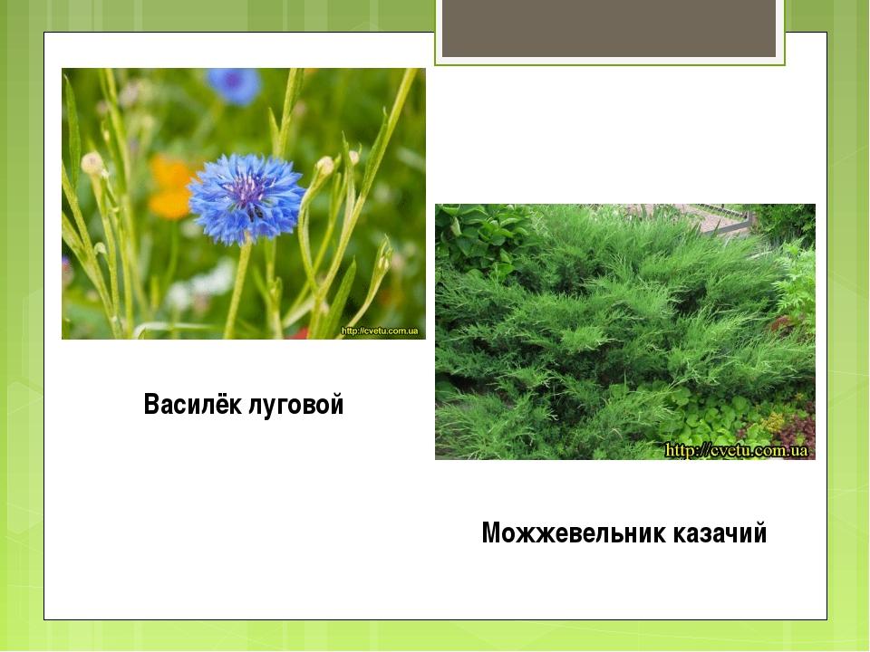 Василёк луговой Можжевельник казачий