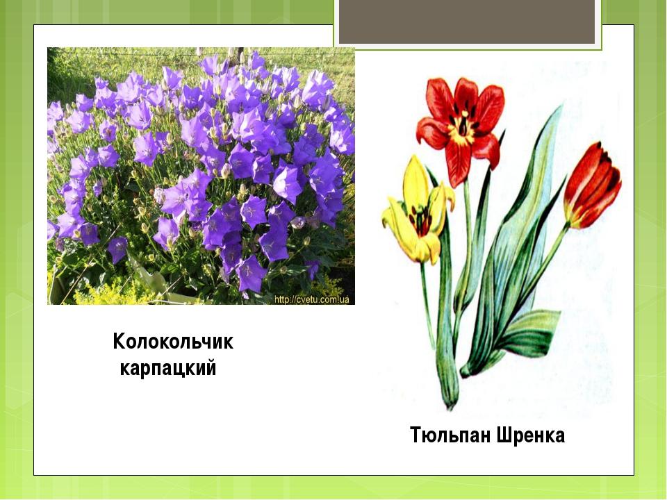 Тюльпан Шренка Колокольчик карпацкий