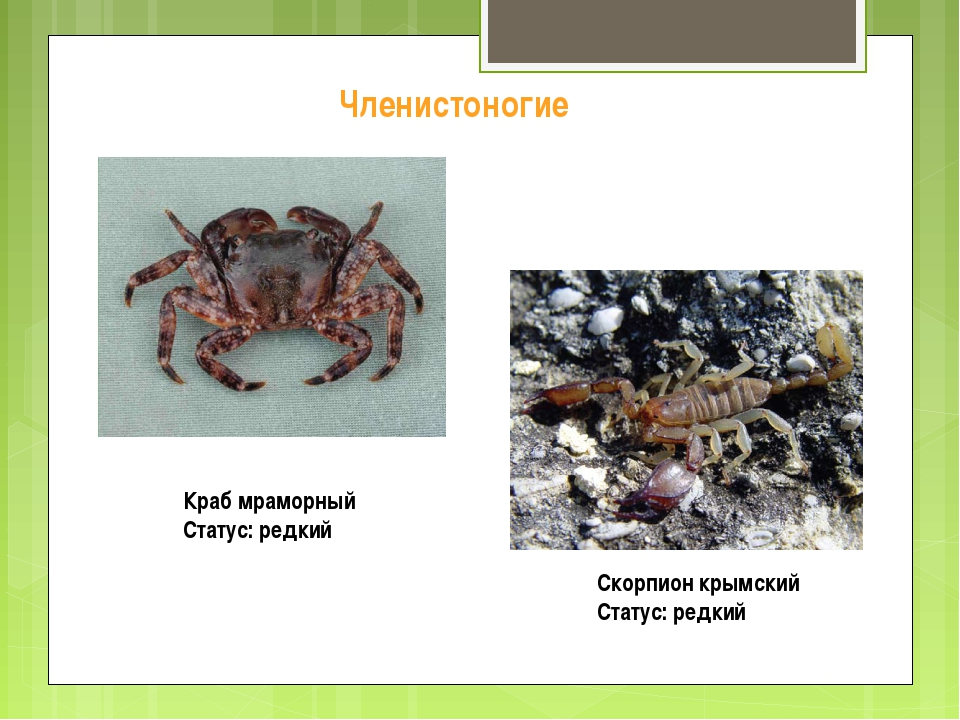 Краб мраморный Статус: редкий Скорпион крымский Статус: редкий Членистоногие