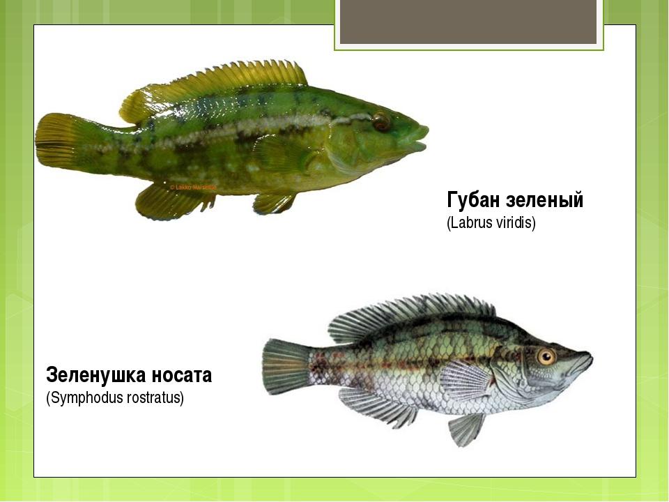 Губан зеленый (Labrus viridis) Зеленушка носата (Symphodus rostratus)