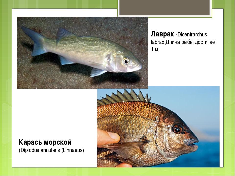Карась морской (Diplodus annularis (Linnaeus) Лаврак -Dicentrarchus labrax Дл...