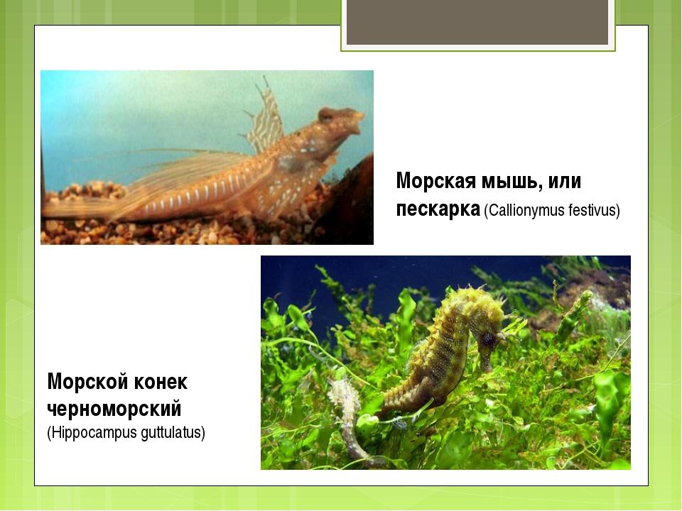 Морская мышь, или пескарка (Callionymus festivus) Морской конек черноморский...