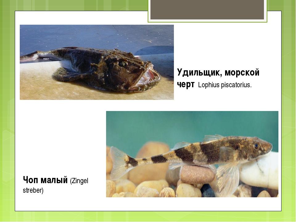Удильщик, морской черт Lophius piscatorius. Чоп малый (Zingel streber)