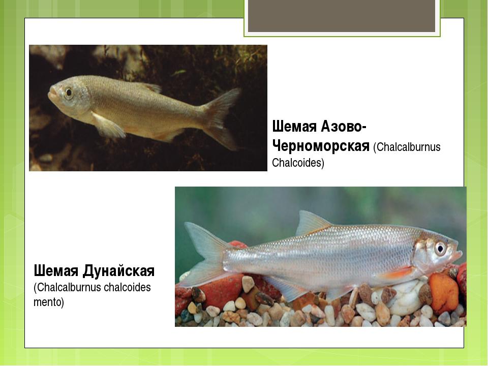 Шемая Азово-Черноморская (Chalcalburnus Chalcoides) Шемая Дунайская (Chalcalb...