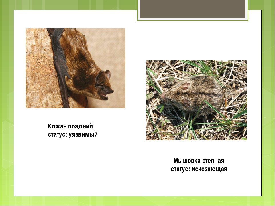 Кожан поздний статус: уязвимый Мышовка степная статус: исчезающая