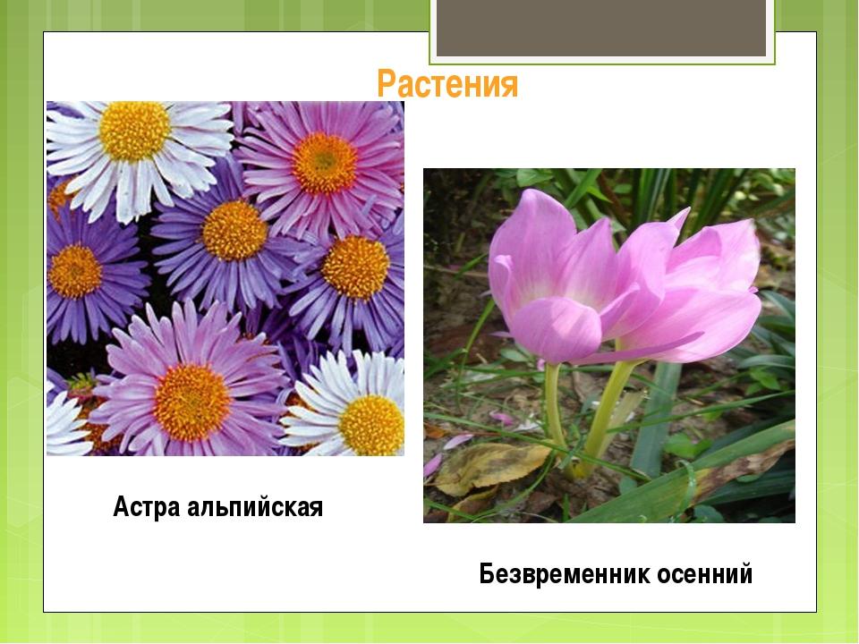 Растения Астра альпийская Безвременник осенний