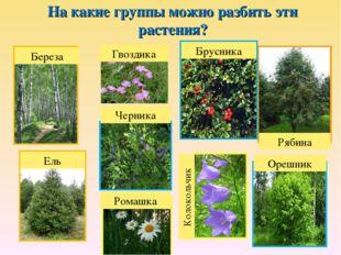 На какие группы можно разбить эти растения? Береза Ель Рябина Брусника Черник