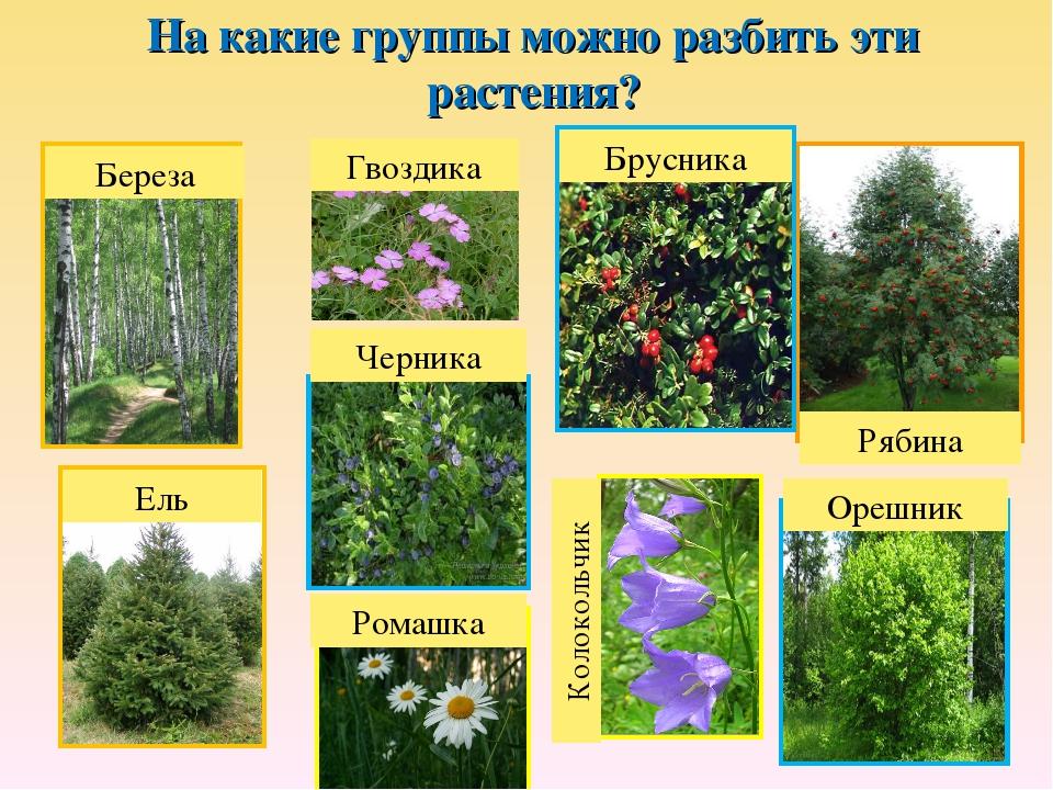 На какие группы можно разбить эти растения? Береза Ель Рябина Брусника Черник...