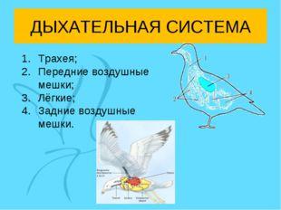 ДЫХАТЕЛЬНАЯ СИСТЕМА Трахея; Передние воздушные мешки; Лёгкие; Задние воздушны