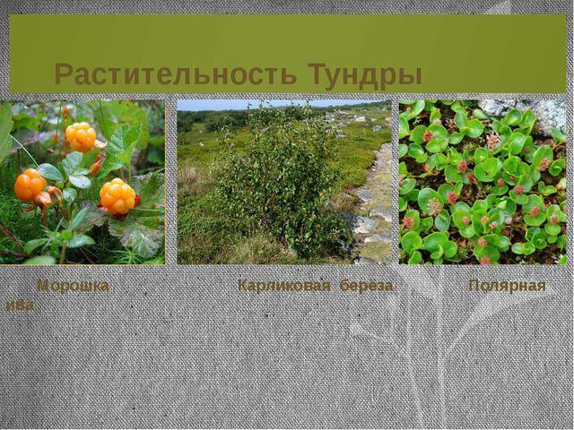 Растительность Тундры Морошка Карликовая берёза Полярная ива