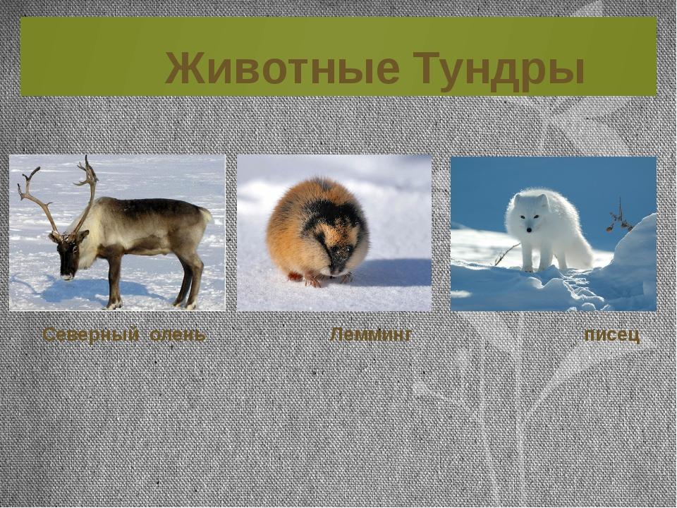 Животные Тундры Северный олень Лемминг писец