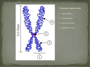 1— хроматида; 2— центромера; 3—короткое плечо; 4—длинное плечо. Строение хром