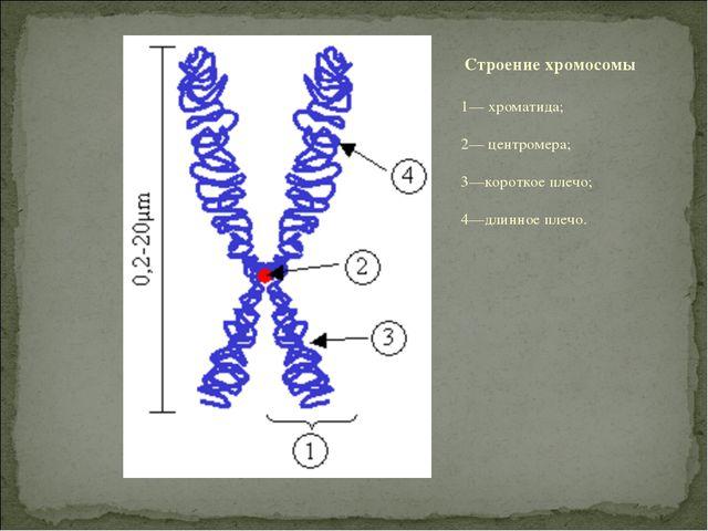 1— хроматида; 2— центромера; 3—короткое плечо; 4—длинное плечо. Строение хром...