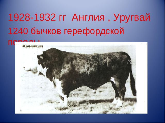 1928-1932 гг Англия , Уругвай 1240 бычков герефордской породы